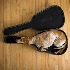 Неприхотливые  собаки, которые сидят, где им вздумается,  даже  в  футляре  для  гитары.