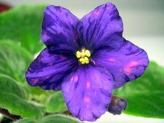African violet SONOMA FANTASY SHIMMER
