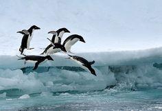 diving penguins