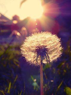 dreaming of dandelions