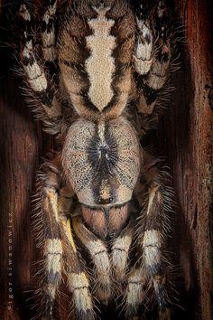 tree-climbing tarantula by Blepharopsis.deviantart.com