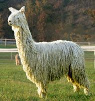 "The Suri alpaca's silky fleece is known as ""The Fiber of the Gods.""  I thought I wanted to raise alpacas until I got spit on by one!"