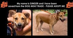 Rescued from the Dog Meat Trade but where to now? Email cristy@soidog.org to ADOPT me. My name is Ginger and I am an affectionate, friendly boy about 3 years of age. After all I have been through I still wag my tail when I see you. I still run towards you. After all I have been through. http://www.soidog.org/en/adoptions/dog-meat-trade-dogs-for-adoption/ginger/