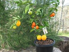 Fruit salad tree-grows all types of fruits in one tree, this is amazing!  I want one.