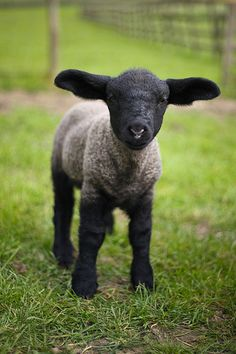 Suffolk lamb.  My very favourite breed of sheep!  They get to be very big, too.