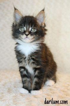 Bersi - maine coon kitten 1,5 month old.