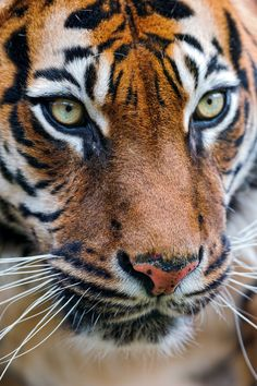Tiger with amber eyes...