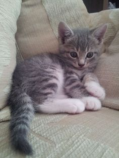 Grey and White Kitten for Sale | Derby Derbyshire | Pets4Homes More at - Catsincare.com