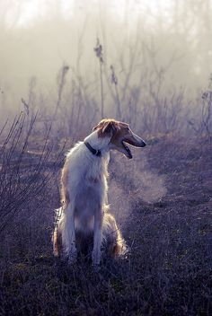 "The borzoi (pron.: /ˈbɔrzɔɪ/; literally ""fast"") is a breed of domestic dog (Canis lupus familiaris) also called the Russian wolfhound and descended from dogs brought to Russia from central Asian countries. It is similar in shape to a greyhound, and is also a member of the sighthound family."