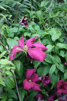 #Clematis Madam Julia Correvon growing through Berberis. Early flowering shrubs benefit from late summer colour. #plants #gardening #flowers #organic