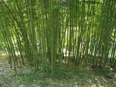 Lots of info on growing bamboo