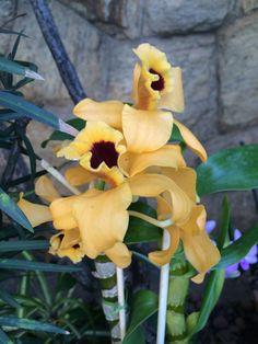 Orquídea - Dendrobiun