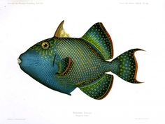 Animal - Fish - Blue-green