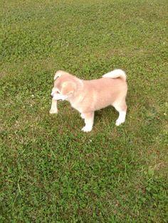 Akita - 2 months