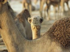 Juvenile Dromedary Camel Peeks over the Neck of an Adult by James L. Stanfield