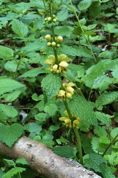 Lamium galeobdolon, Yellow Archangel, Goldnessel (D). European wildflower.