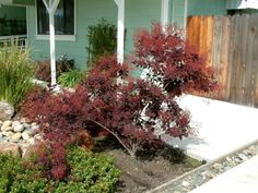 Plant photo of: Cotinus coggygria 'Purpureus' Smoke Tree full or half sun; low rocky soil, avg or poor soil Maybe near the house? Backyard Plants, Garden Landscaping, Tall Shrubs, Smoke Tree, Hot House, Plant Information, Sun And Water, Drought Tolerant Plants, Small Trees