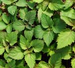 plant de patchouli ou pogostemon patchouli ou  cablin