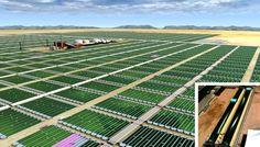 Biodiésel de Algas. Proceso de producción de biodiésel utilizando algas http://www.biodisol.com/biocombustibles/biodiesel-de-algas-proceso-de-produccion-de-biodiesel-utilizando-algas-energias-renovables-biocombustibles-cultivos-energeticos/