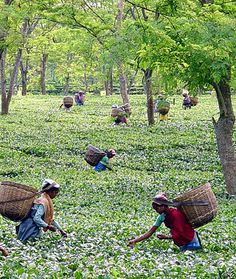 Indian tea plantation workers. Where it all starts!