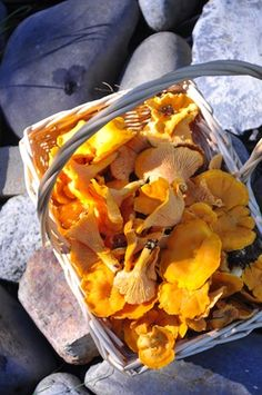 foraging and chanterelles