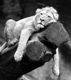 Sleeping lion on the tree, Walter Sittig Tavlor, Glicée & Canvas från Easyart.se