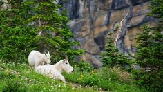 Mountain Goats Grazing - Visit Glacier National Park