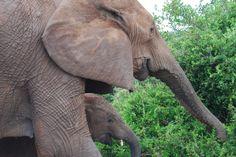 Addo olifante - my foto Inspiring Things, South Africa, Elephant, Animals, Inspiration, Biblical Inspiration, Animales, Animaux, Elephants