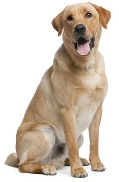 Labrador Retriever Information, Facts, Pictures, Training and Grooming