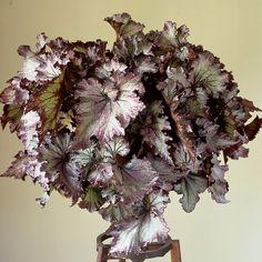 Begonia 'Lalomie' (Begonia rex hybrid) - Rex Begonias - Begonias