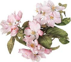 Apple blossoms printable