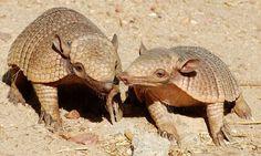 Рассказ о поразительной фауне нашей планеты. Загадочные и удивительные факты о броненосцах.