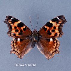 Roddia vaualbum (Dennis Schlicht)