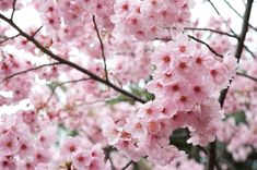 cherry blossom best wallpapers free