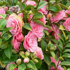 Camellias in bloom