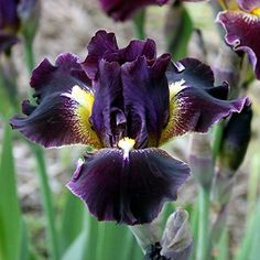 Trails End Iris Gardens Oblivion iris