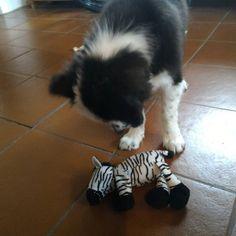 Is it dead?  #Finlay #bordercollie #collie #dogs #Hund #Welpe #puppies #dogstagram #dogsofinstagram #loved #adorable #cute #puppy #dog #bordercolliesofinstagram #borderfame