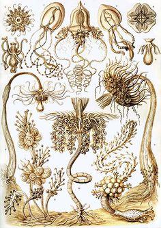 Tubulariae (plate 6) by Ernst Haeckel, from Kunstformen der Natur, 1904
