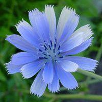 Bibit / Benih Bunga Blue chicory