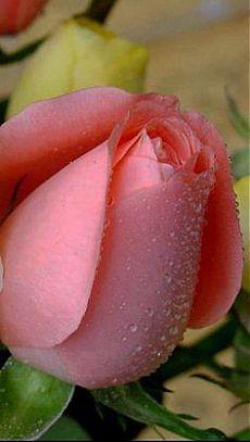Las rosas Beautiful Rose Flowers, Wonderful Flowers, Exotic Flowers, Rose Pictures, Hybrid Tea Roses, Purple Roses, Rose Buds, Planting Flowers, Flower Arrangements