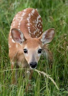 Wide-Eyed Wonder, Whitetail Fawn In The Big Meadows At The Shenandoah National Park. Fawns Are Baby Deer! Nature Animals, Animals And Pets, Beautiful Creatures, Animals Beautiful, Cute Baby Animals, Funny Animals, Tier Fotos, Woodland Creatures, My Animal