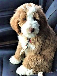 Dog And Puppies Small .Dog And Puppies Small Super Cute Puppies, Cute Little Puppies, Cute Dogs And Puppies, Doggies, Bernedoodle Puppy, Goldendoodles, Cavapoo, Aussie Doodle Puppy, Dog Tumblr