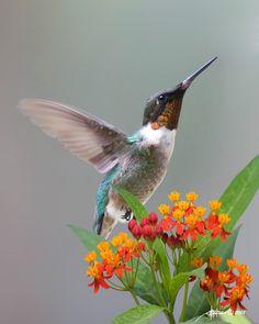 Ruby-Throated Hummingbird On Milkweed