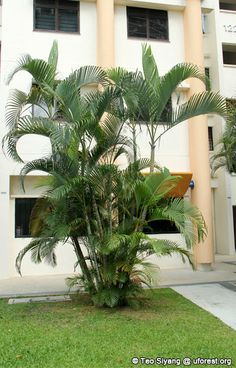 dypsis lutescens - Would like a variegated one Tropical Backyard Landscaping, Palm Trees Landscaping, Tropical Garden Design, Mailbox Landscaping, Home Garden Design, Tropical Plants, Landscaping Ideas, Bali Garden, Buddha Garden