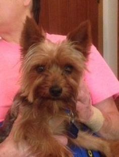 Minnow, 4 yr old Yorkshire Terrier boy available for adoption in Omaha, NE. Loving boy needs a forever family!