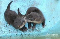 Otter kisses. <3