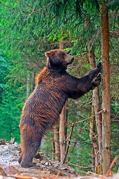 The extreme elevations of Eastern Europe are home to a great deal of amazing wildlife, including brown bears #Ukraine