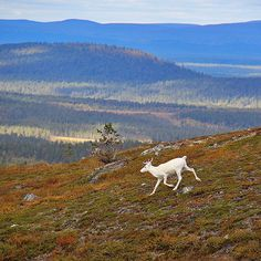 Lapland Finland, a white reindeer White Reindeer, Lapland Finland, Nature Music, City Landscape, Nature Pictures, Travel Photos, Norway, Scandinavian, Malli