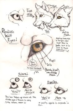 Wolf eye anatomy page by Anarchpeace.deviantart.com