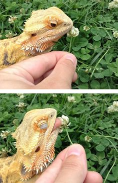 Bearded Dragon, not sure if they can eat those but, looks so curious. Its cute